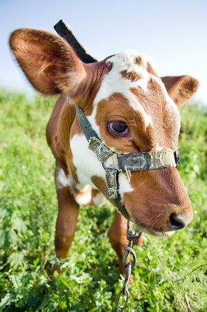 Funny cow in green field  photo