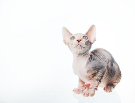 Funny gatto sfinge la ricerca, isolati in studio  Archivio Fotografico