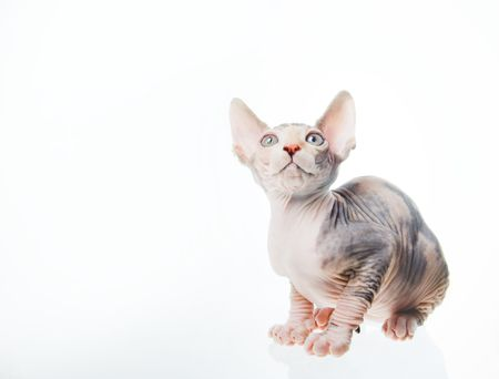 Funny sphinx cat looking up, odizolowanych w studio Zdjęcie Seryjne