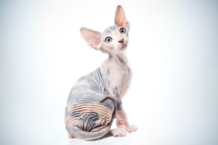Funny sphinx cat looking up, isolated in studio