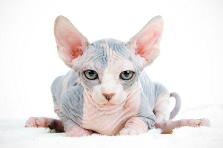 疲れておかしいスフィンクス猫探し 写真素材