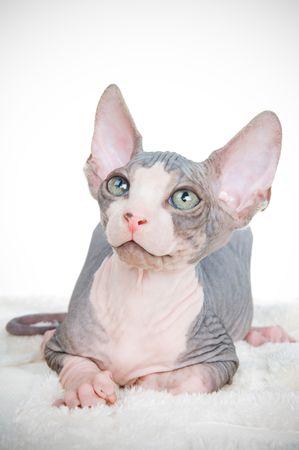 Attentive sphinx kitten, studio isolated  Standard-Bild