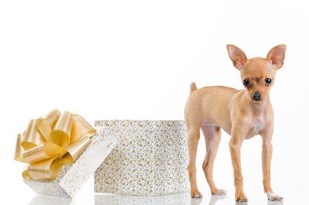 Funny little dog near gift box, isolated on white background Stock Photo - 3881599