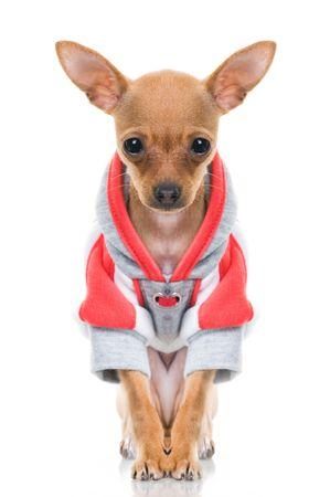 Funny little dog in jacket, isolated on white background Standard-Bild