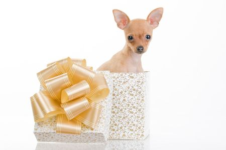 Funny little dog in gift box, isolated on white background Standard-Bild