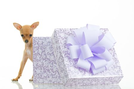 Funny little dog near gift box, isolated on white background Stock Photo - 3972368
