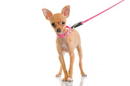 흰색 배경에 고립 된 핑크 가죽 끈으로 재미 있은 작은 개