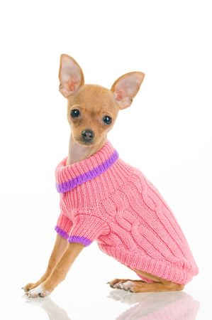 white clothes: Chihuahua dog in pink sweater, isolated on white background