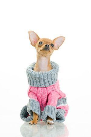 Chihuahua chien dans un pull, isolé sur un fond blanc