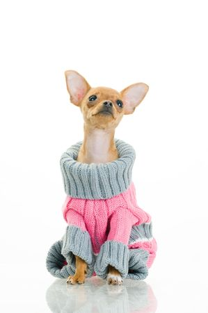 Chihuahua dog in sweater, isolated on white background