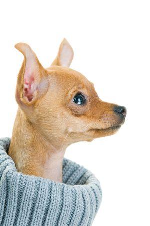 Close-up de l'�tat de Chihuahua chien dans un pull, isol� sur un fond blanc