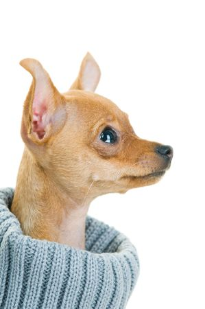 Close-up di Chihuahua cane nel maglione, isolata su sfondo bianco Archivio Fotografico
