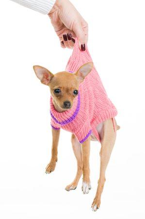 Female hand holding funny Chihuahua dog over white background Standard-Bild