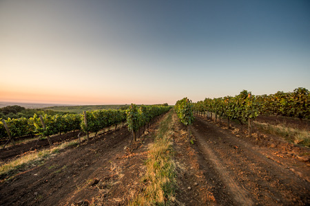 wineyard: Summer Grape field at dawn
