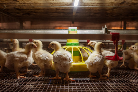 feed: Baby chicken in poultry farm