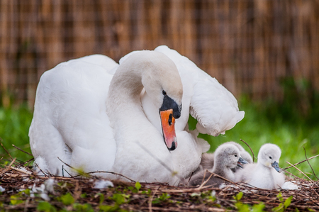 Mother swan and little swans 写真素材