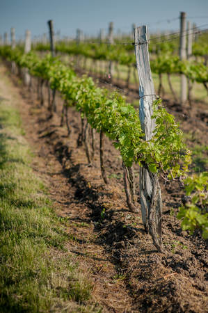 Grape fields spring in the sun