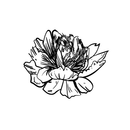 Peony flower isolated on white background. Card with a pion. Vector illustration. Flowers obscure the background.Set vector silhouettes of hand drawn peony flowers isolated on white background.