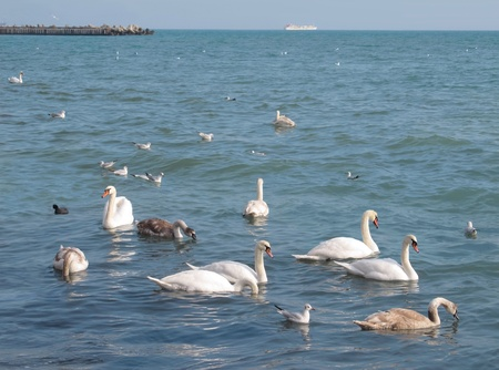 Swans on the sea coast in the cold winter weather.                                photo