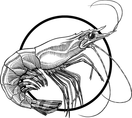 crustacean: Black and white engraving illustration of shrimp. Circle frame can be easily removed. Illustration