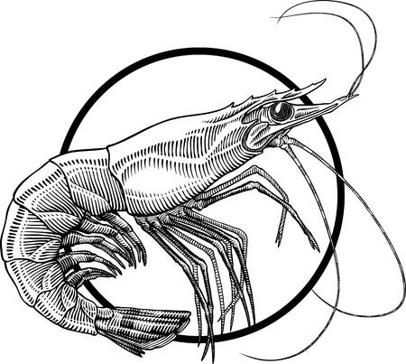 Blanco y negro grabado ilustración de camarón. Marco del círculo se puede quitar fácilmente. Ilustración de vector