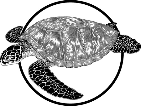 sea green: Black and white illustration of green sea turtle engraving style. Round frame can be easily removed