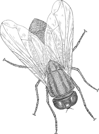 black and white illustration of fly