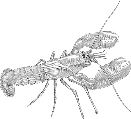 spiny lobster: black and white vector illustration of lobster with big claws Illustration