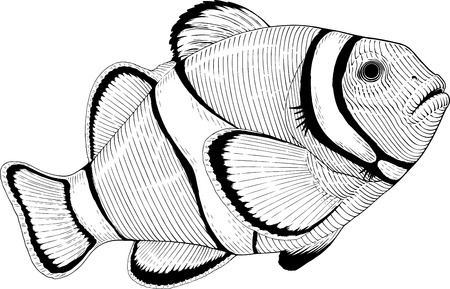 exotic fish: Black and white vector image of clownfish engraving style