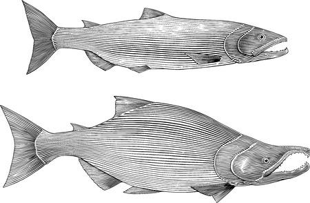 sockeye: Black and white vector illustration of sockeye salmon