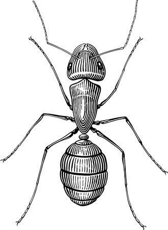 ant leaf: imagen en blanco y negro del vector con el estilo de grabado de la hormiga