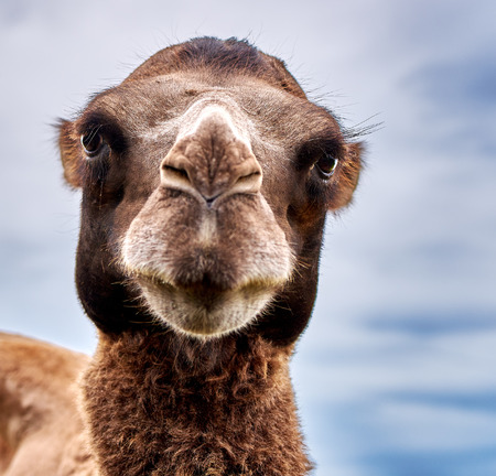 kind: Starring camel with kind eyes