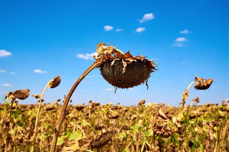 girasol: Girasol madura en el campo agr�cola. Cosecha. Oto�o. Caer. Foto de archivo