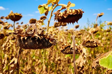Ripe sunflower on the farm field. Harvesting. Autumn. Fall.