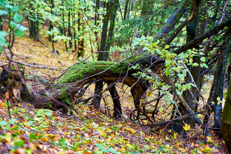 snag: Snag stump stub in the green forest Stock Photo