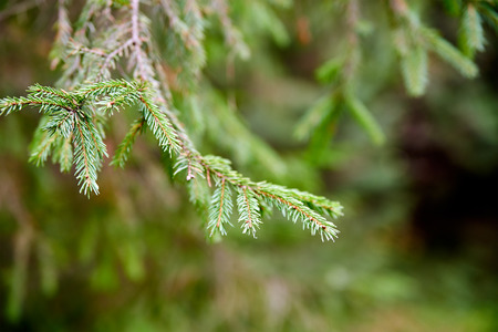 christmas scent: Fir Pine Christmas Tree Branch close up Stock Photo