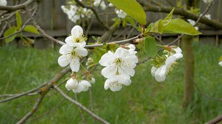 awakening: Cherry blossom flowers on the tree branch. Springtime awakening and summer concept. Stock Photo