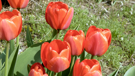swaying: Red tulips in the garden flowerbed swaying in the wind. Closeup shot. Nature sunny summer and spring concept.