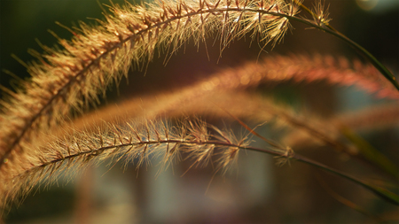 Grass ear spikes at the sunset. Spikelets are flying in the wind against the sun at sunset. Stock Photo