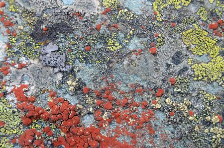 Lichen, moss. Snippet of alpine nature. Altai Republic, Russia Stok Fotoğraf
