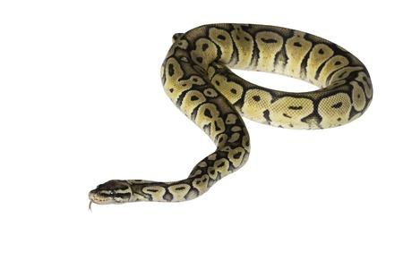 ball python: pastel citrus calico ball python Python regius isolated on white background.