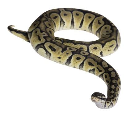 herpetology: pastel citrus calico ball python Python regius isolated on white background.