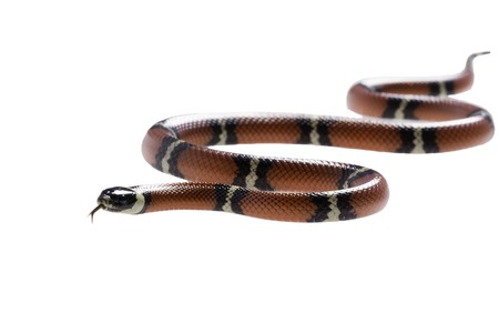 triangulum: Sinaloan milk snake, Lampropeltis triangulum sinaloae, in front of white background