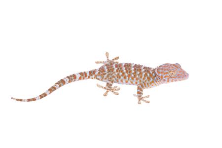 tokay gecko: Gecko isolated on white background