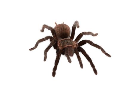 hairy legs: Brachypelma vagans spider Isolated