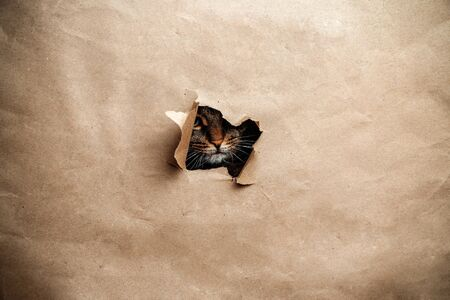 Cute calico kitten looking in the direction through the old tattered paper. Copy space