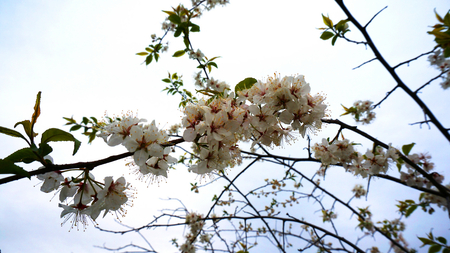 stamens: Apple flowers in the garden in the spring