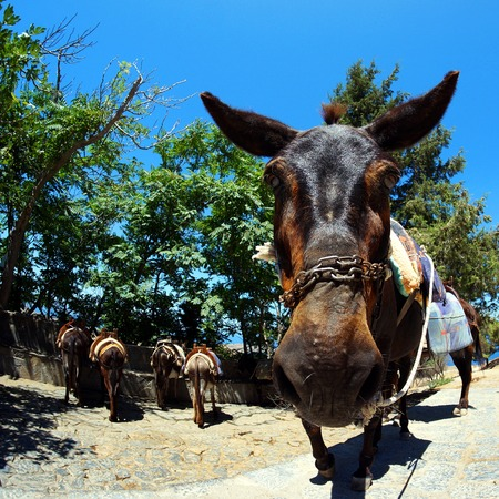 the donkey and his friends await the next recovery in Lindos Stock Photo