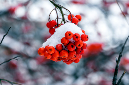 red bunches of Rowan in autumn with berries in the first snow Stock Photo