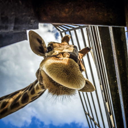 the head of the giraffe is looking at the camera from above close
